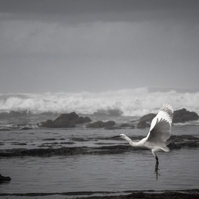 Egret in Casablanca